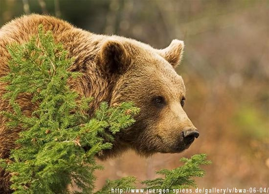 Бурий ведмідь ведмідь бурий ursus arctos
